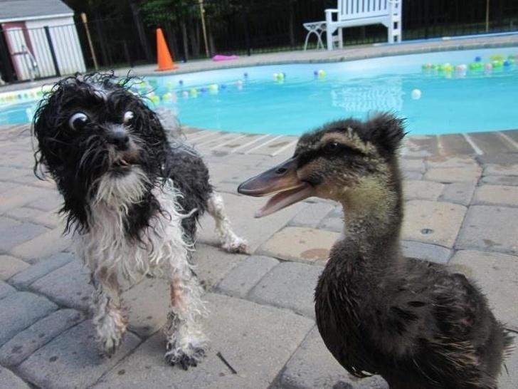 собака и утка рядом с бассейном