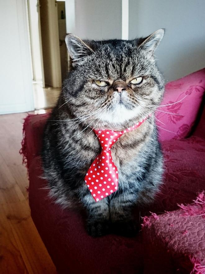 кот в красном галстуке