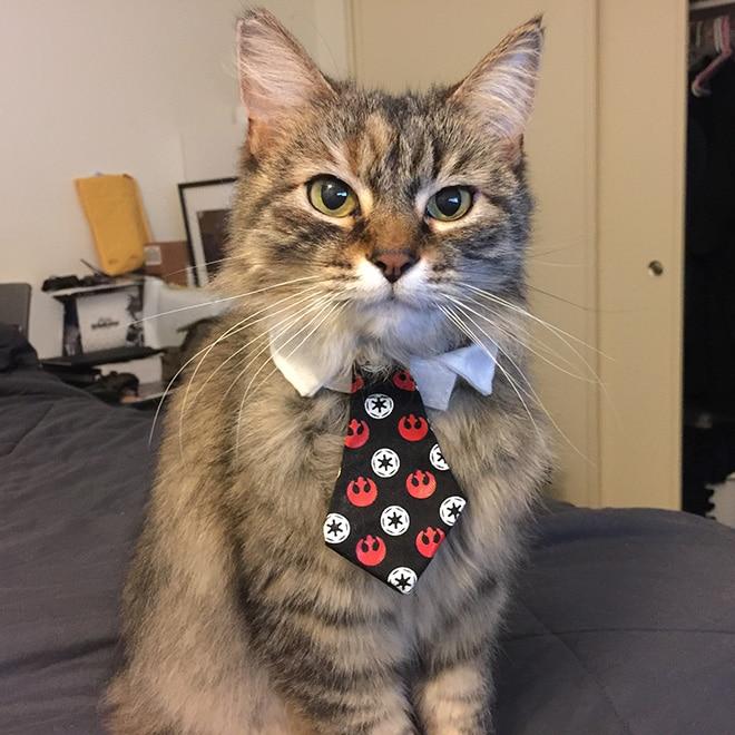 пушистый кот в галстуке
