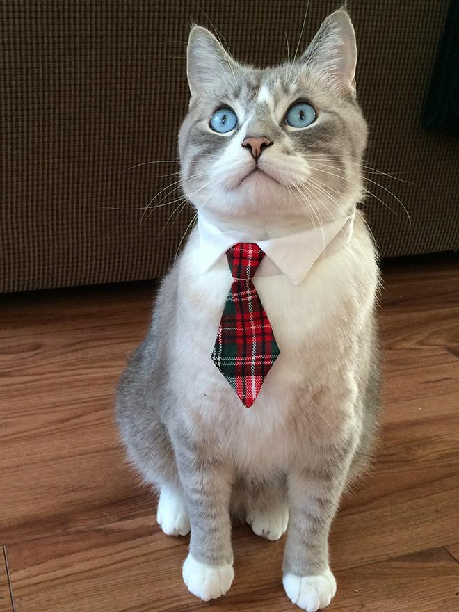 серый кот в галстуке