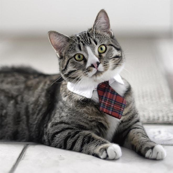 полосатый кот в красном галстуке