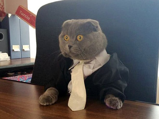 серый кот за столом
