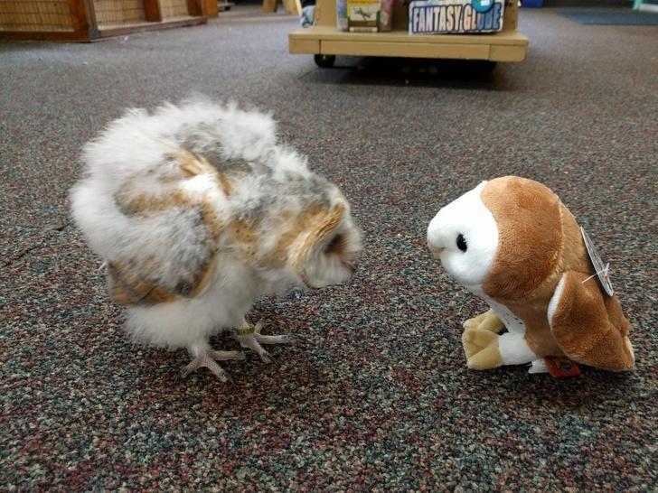 сова смотрит на игрушечную сову