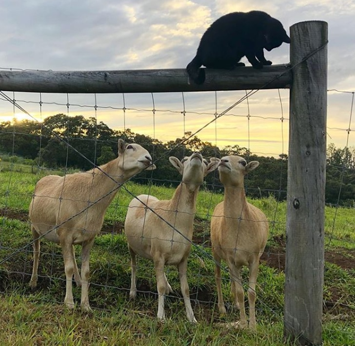 три козы и кот