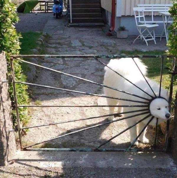 белая собака за калиткой