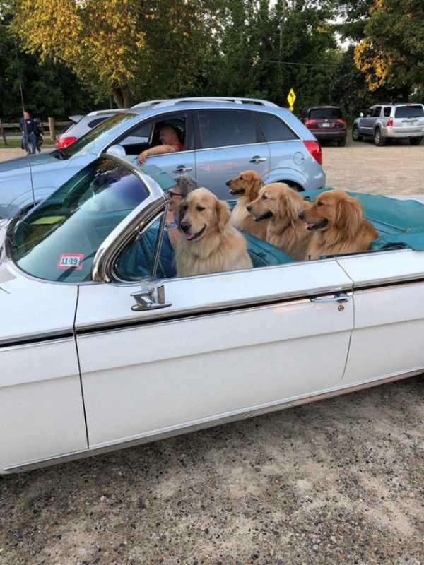 золотистые ретриверы в машине
