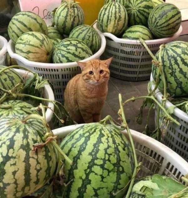 рыжий кот сидит среди арбузов