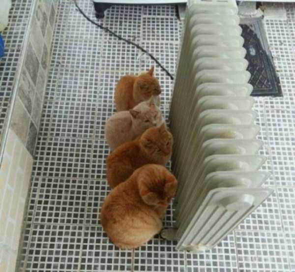 рыжие коты возле радиатора