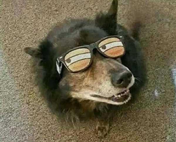 черная собака в очках
