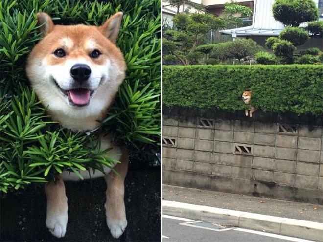 собака торчит из кустов