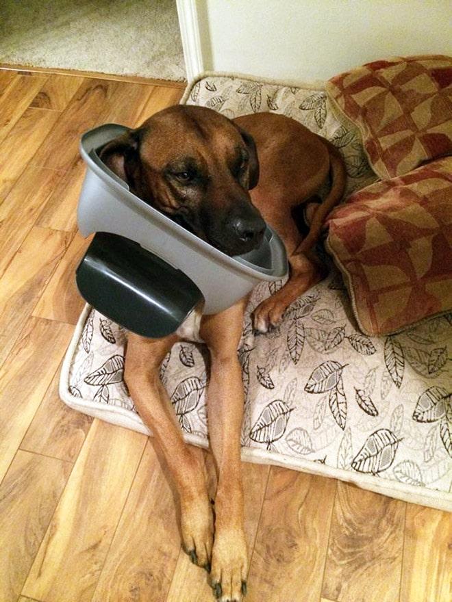 собака с крышкой от ведра на голове