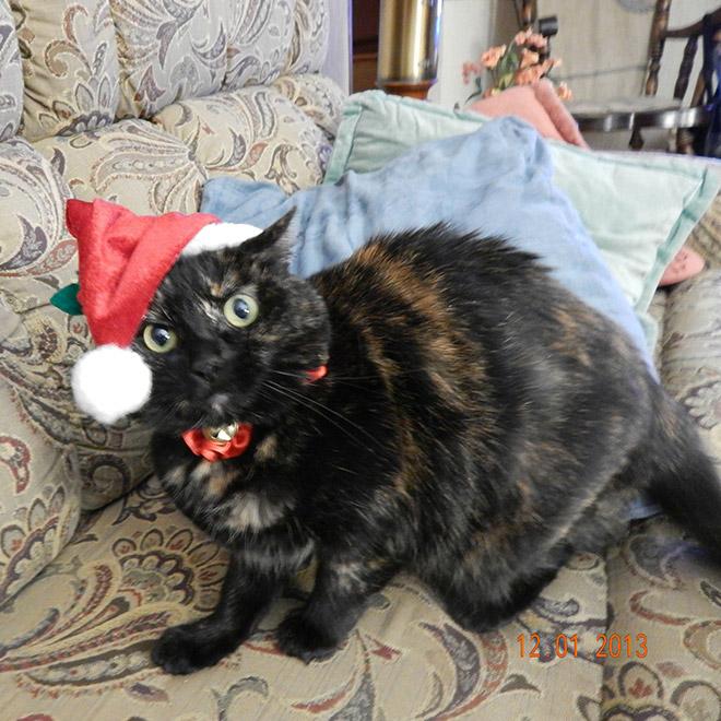 кошка трехцветка на диване
