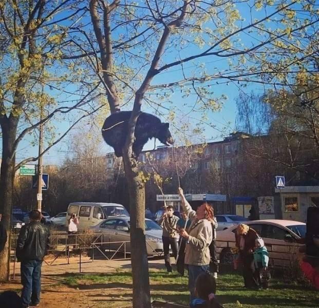 медведь на дереве