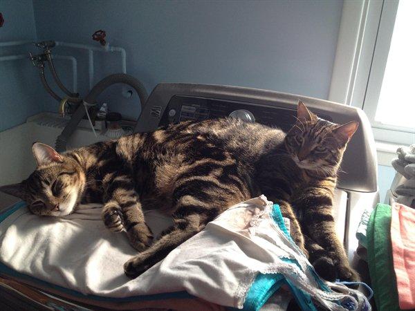 полосатые коты лежат вместе