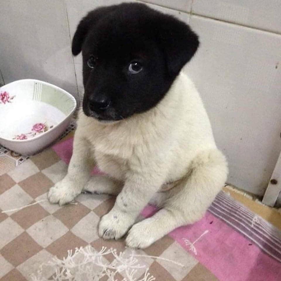 белый щенок с черной головой