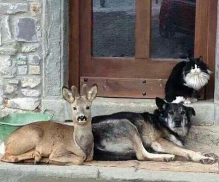 олененок, кот и собака на крыльце дома