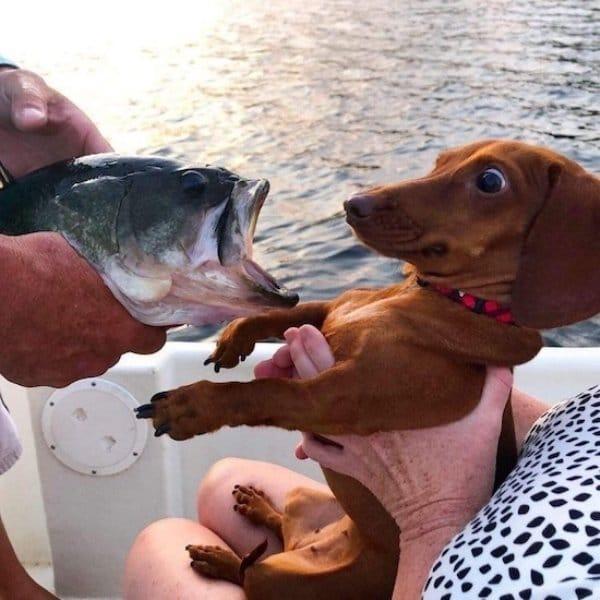 такса испугалась рыбу