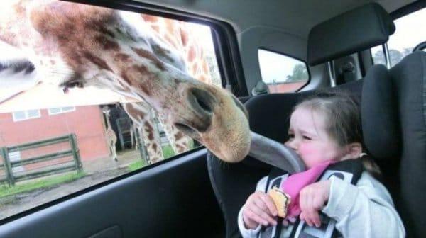 жираф облизывает девочку в авто