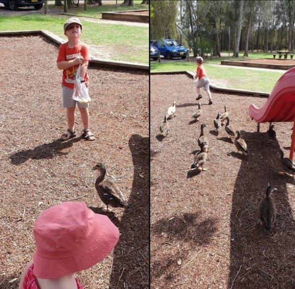 утки бегут за мальчиком