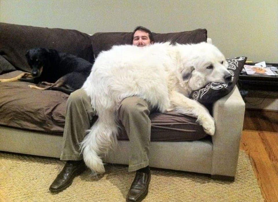 большой белый пес на коленях у мужчины