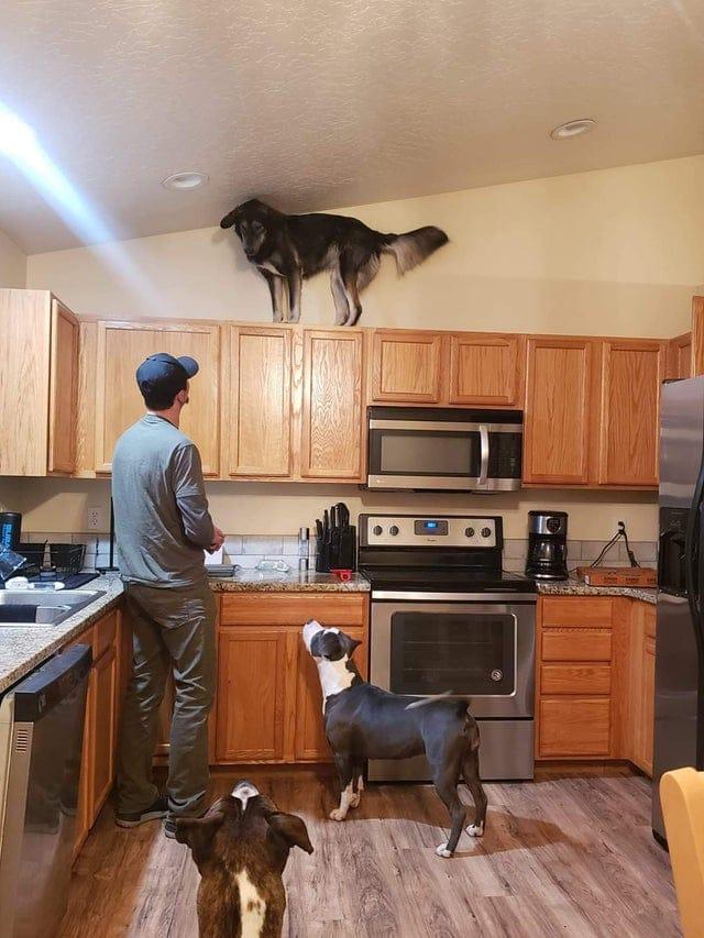 собака стоит на кухонном шкафу