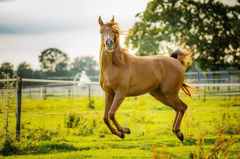 рыжая лошадь в прыжке