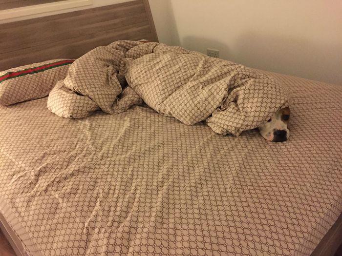 собака спит под одеялом на кровати