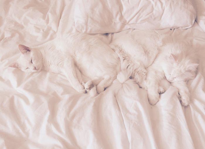 два белых кота на постели