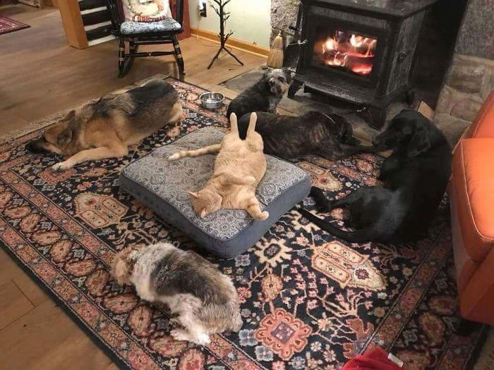 кот на подушке и собаки вокруг него на полу