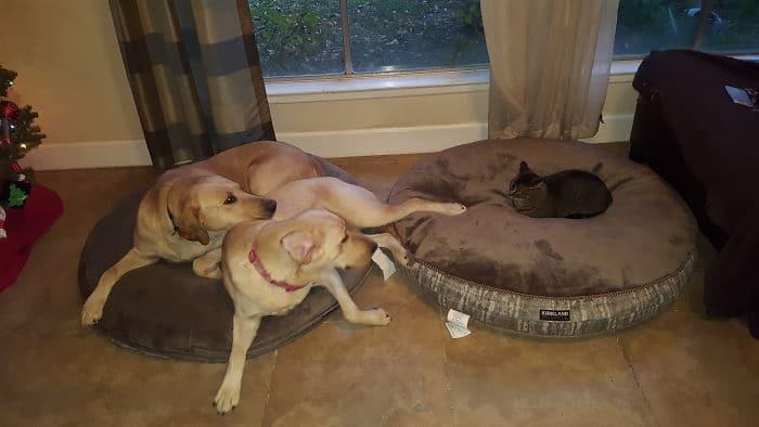 две собаки на подушке и черный кот