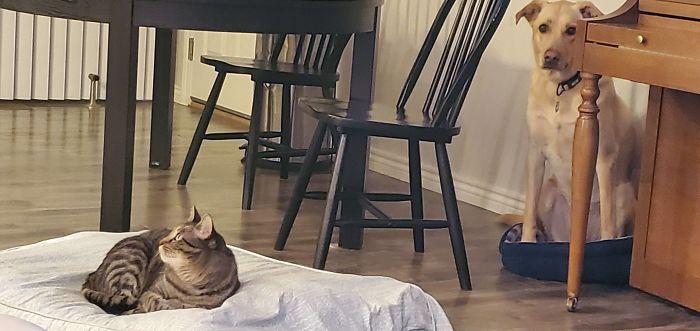 кот сидит на подушке собаки
