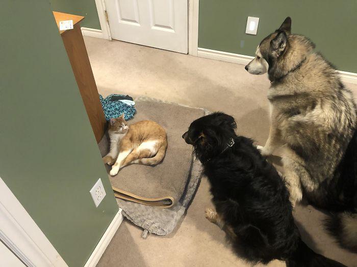 две собаки и рыжий кот