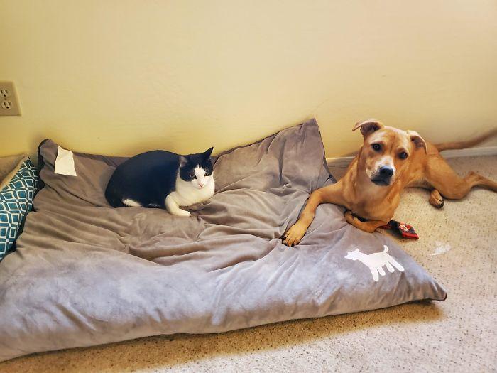 черно-белая кошка и рыжая собака на подушке