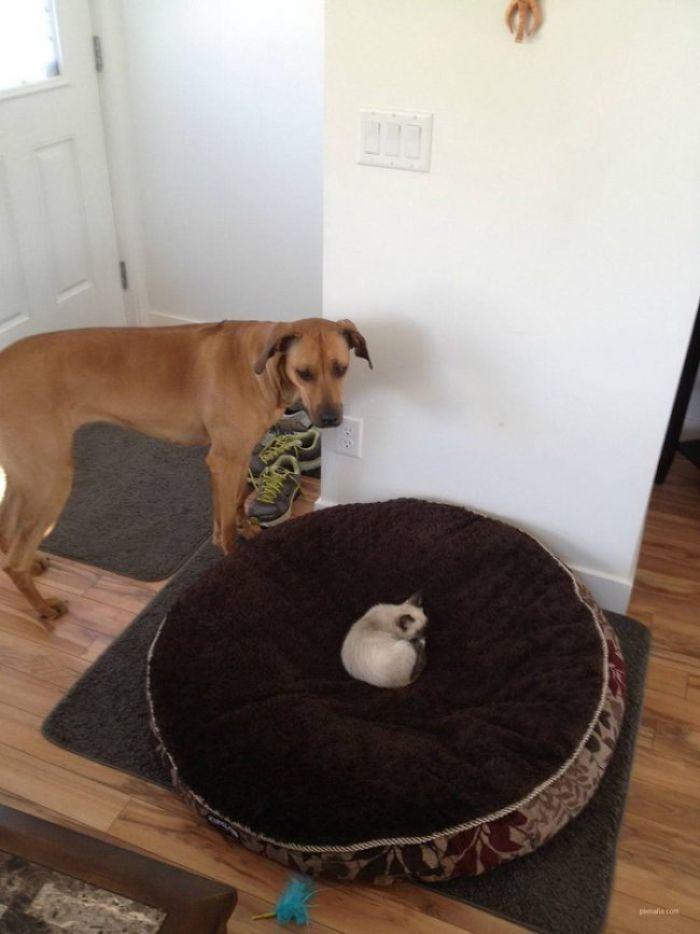 собака смотрит на котенке в ее кровати