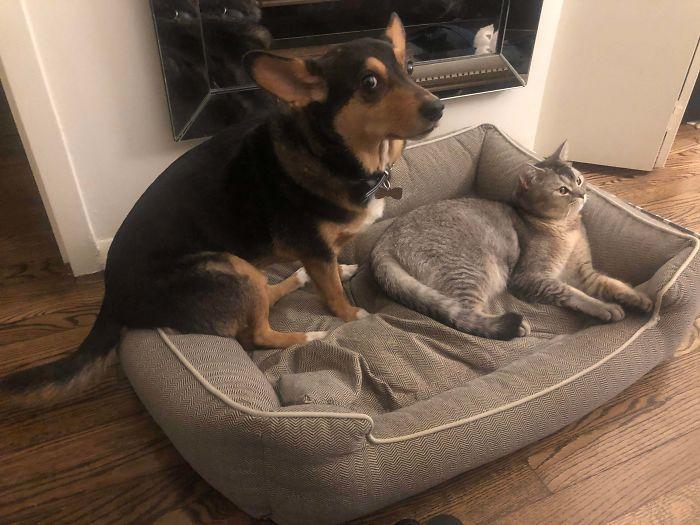 кот и собака на одной подушке