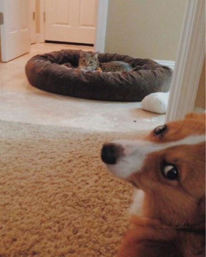 кот лежит в кровати собаки