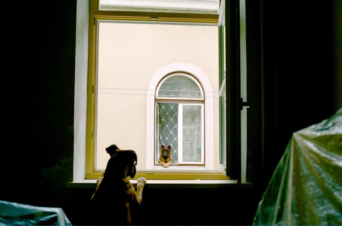 собаки смотрят друг на друга из окна