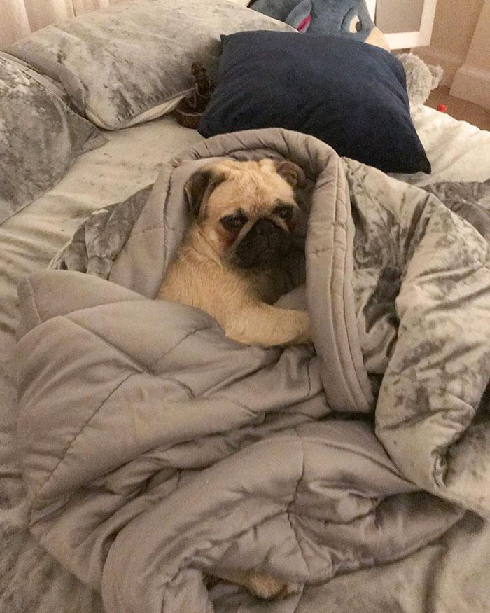 мопс спит на одеяле