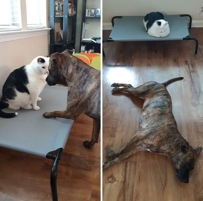 черно-белый кот и собака породы боксер