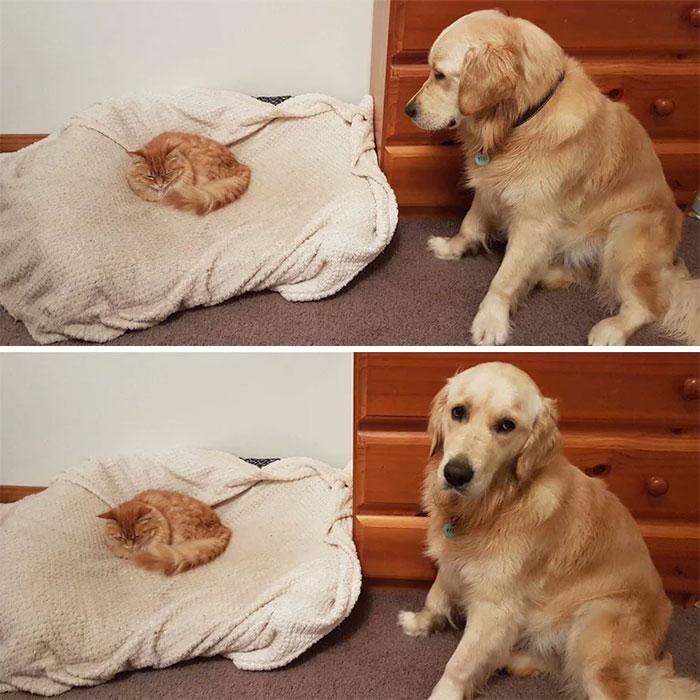 ретривер и рыжий кот