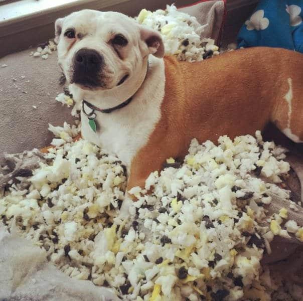 собака с разорванной подушкой