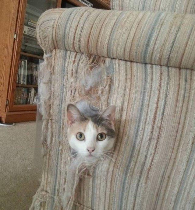 морда кота торчит из кресла