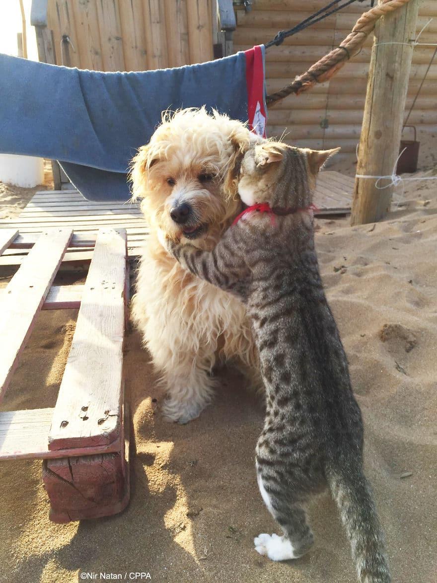 полосатый кот обнимает собаку