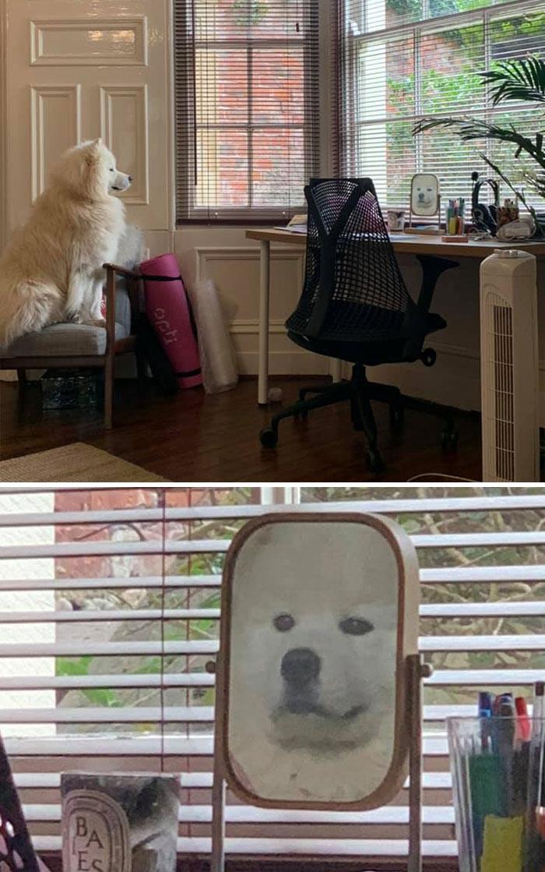 собака самоед смотрит на себя в зеркало