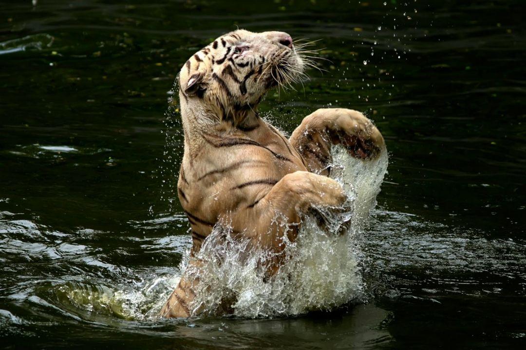 vode-pleschetsya-tigr-kartinki-koshki-sobaki-smeshnye-zhivotnye-kote