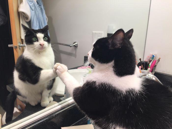 черно-белый кот удивленно смотрит в зеркало