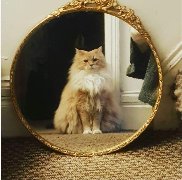 отражение пушистого рыжего кота в зеркале