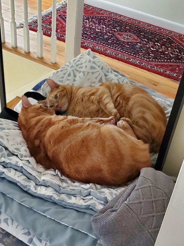 рыжий кот смотрит в зеркало