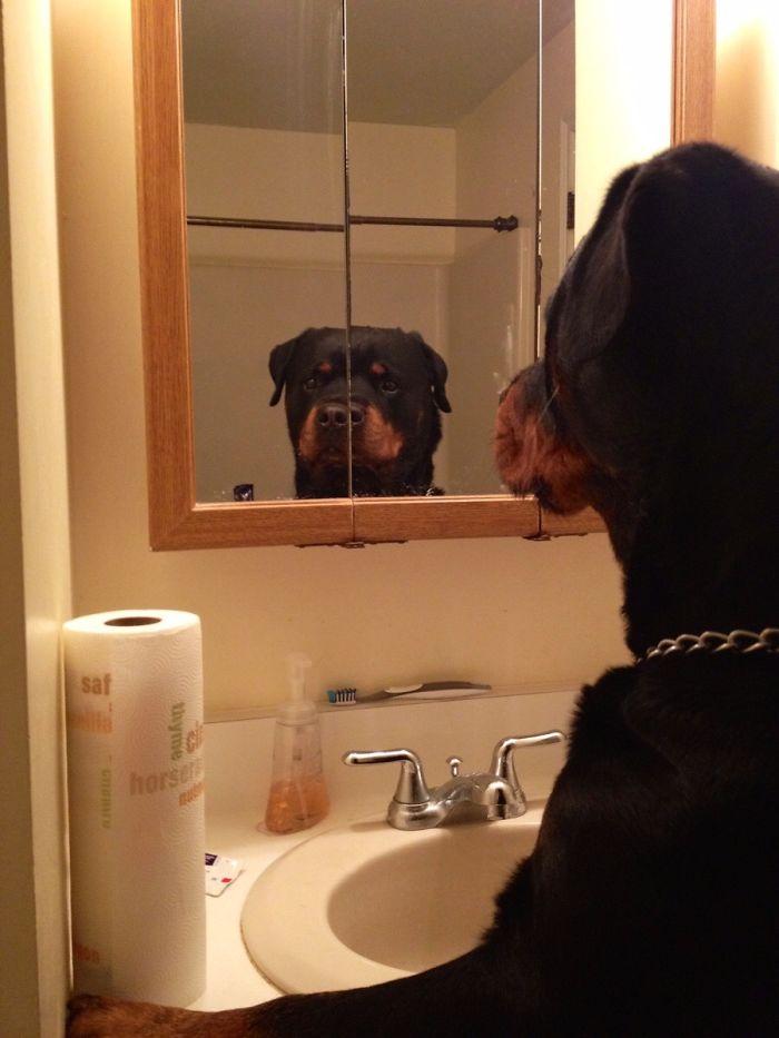ротвейлер смотрит на себя в зеркало