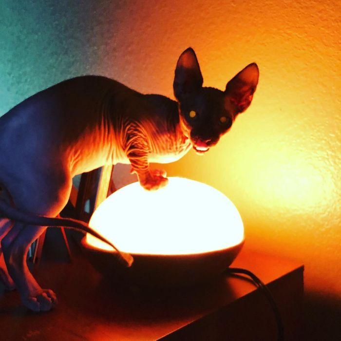 13 раз, когда фотогеничность прошла мимо котов породы сфинкс Приколы,Фото,коты,приколы,сфинксы,фото